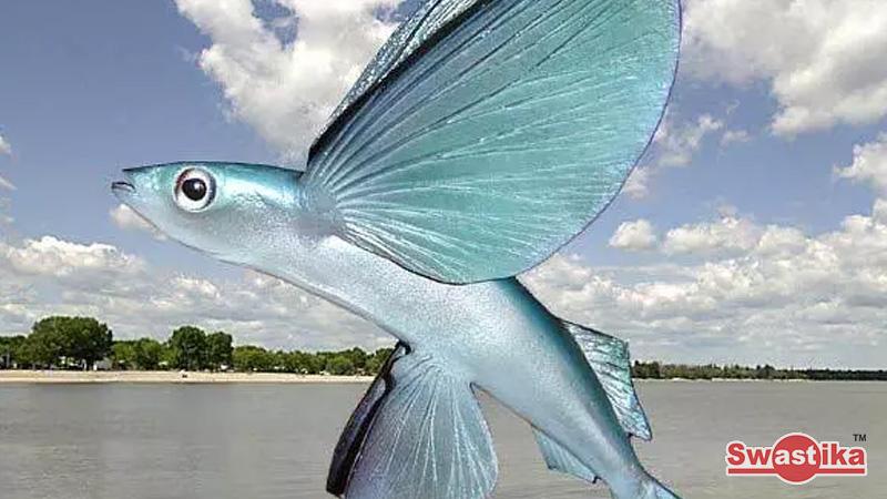 Bagaimana Ikan Torani Bisa Terbang?