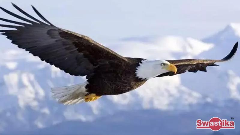 Kenapa Burung Elang Sayapnya Tak Banyak Mengepak Ketika Di Udara