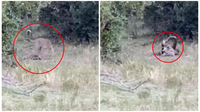 Detik-detik Pertarungan Mematikan Macan Tutul dan Ular Piton, Siapa Menang?