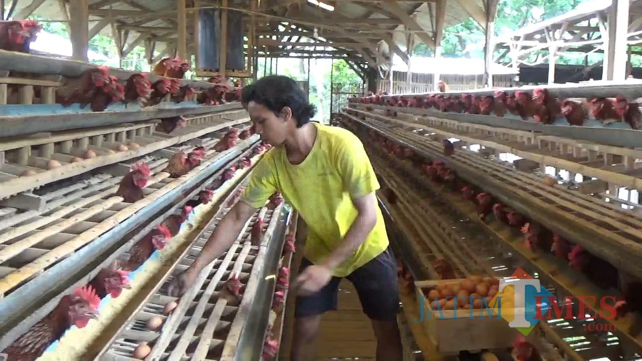 Cara Ternak Ayam Petelur | Bisnis Mandiri Modal Kecil ...